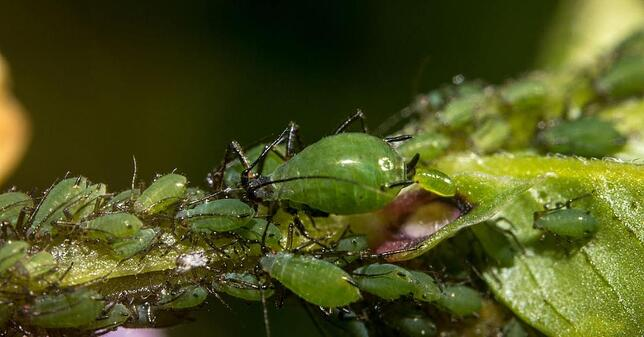 Aphid_Giving_Birth