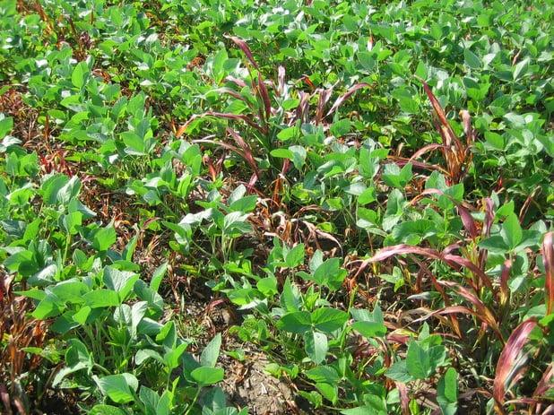 Come coltivare la soia con successo