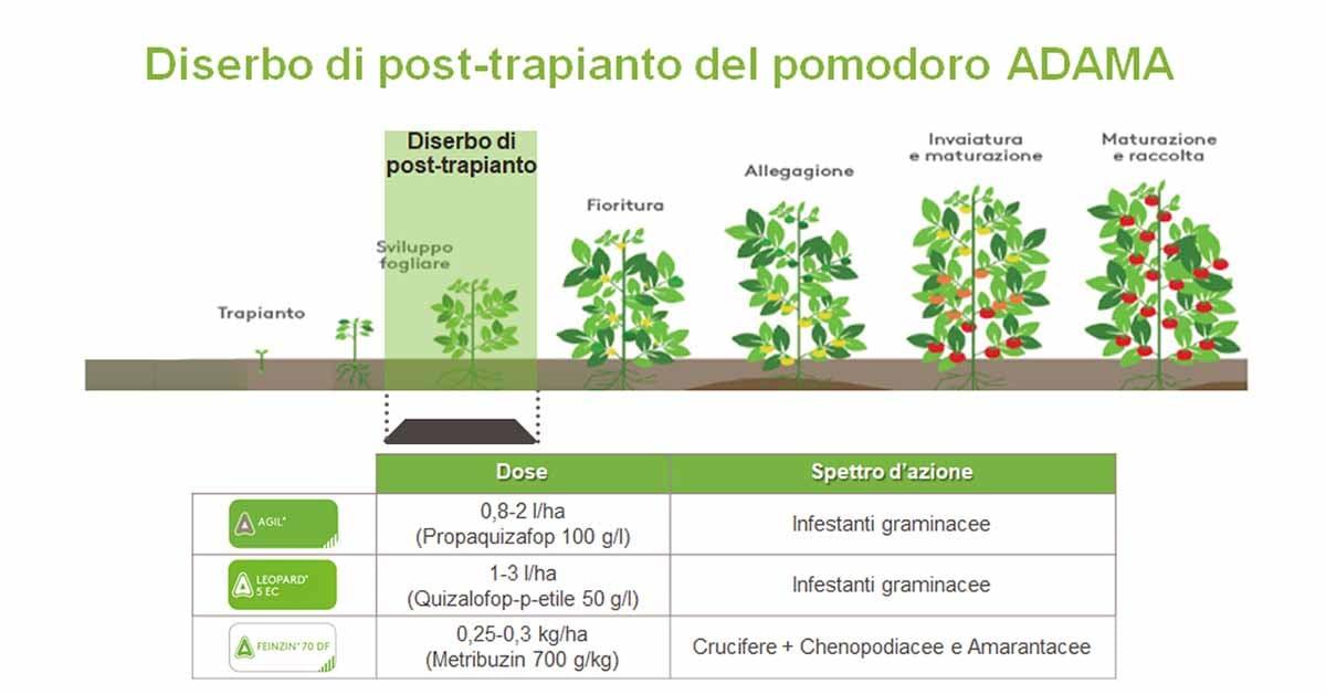 coltivazione del pomodoro e infestanti diserbo post trapianto