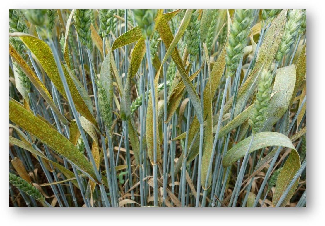 Guida alle malattie fungine dei cereali e meccanismi di difesa_Adama
