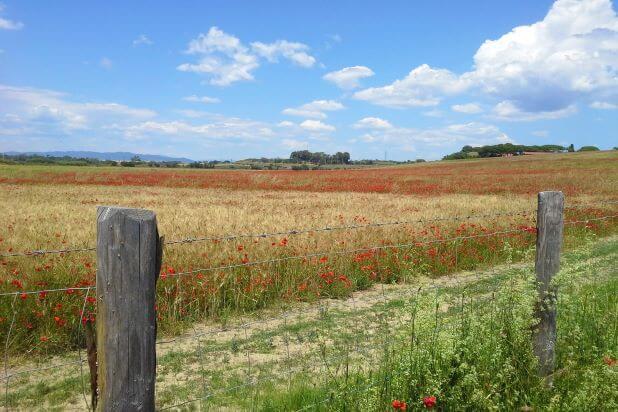 Campo di Frumento infestato da Papavero (1) (1) (1)-1