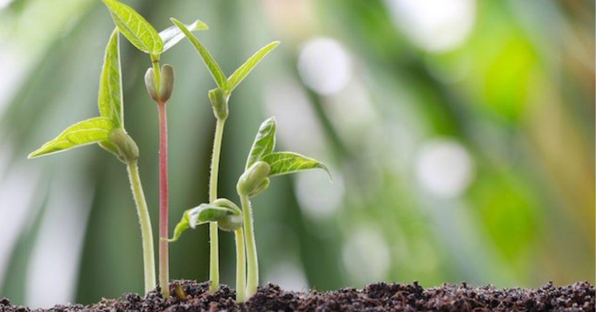 coltivazione pianta di soia Adama