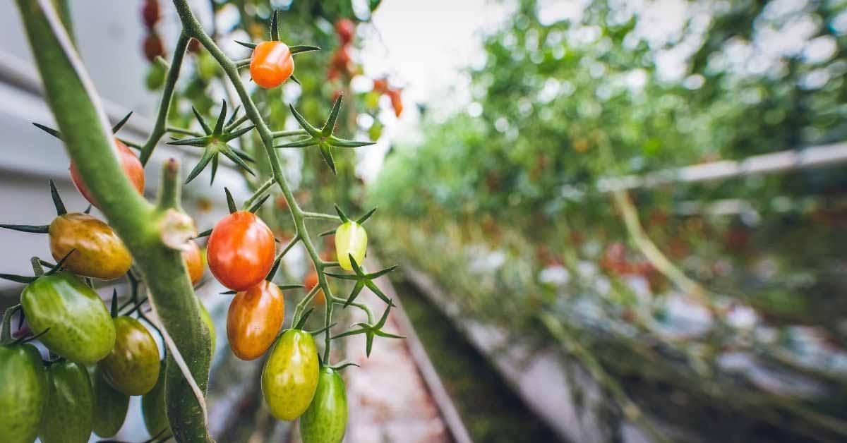 coltivazione del pomodoro infestanti_Adama