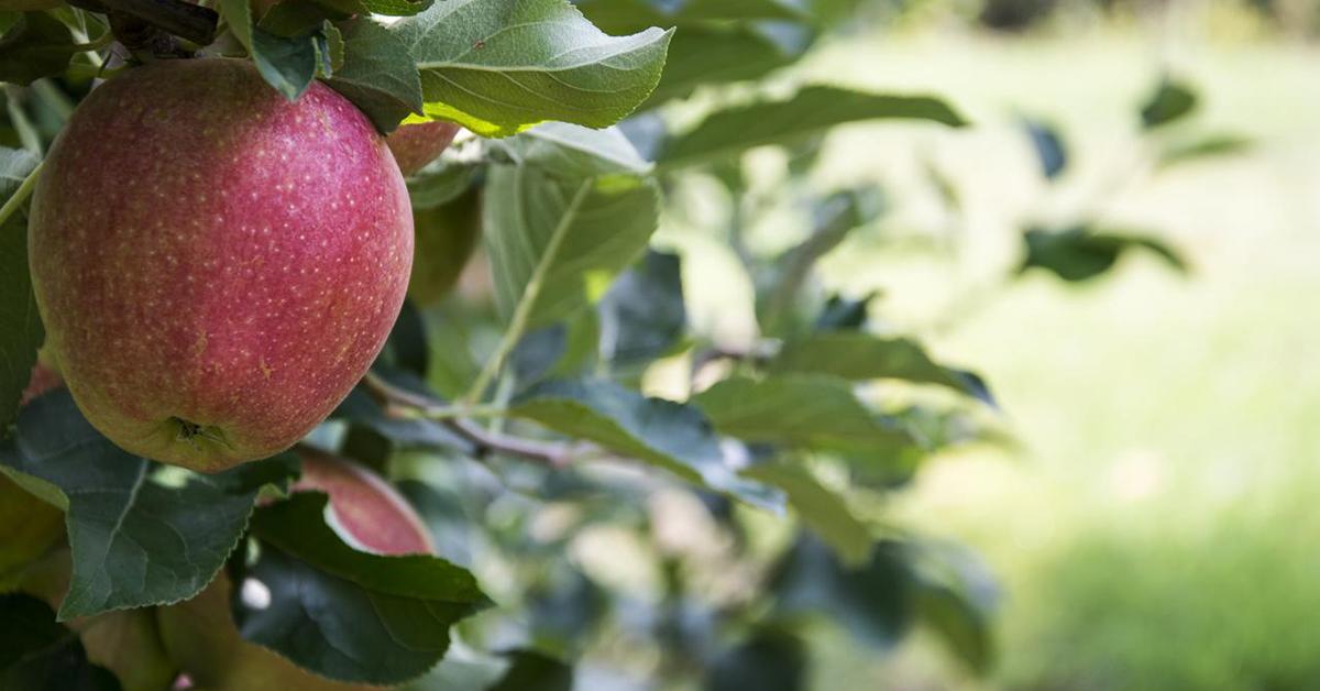 Eccellenza sulla tavola: le mele del Piemonte_Adama