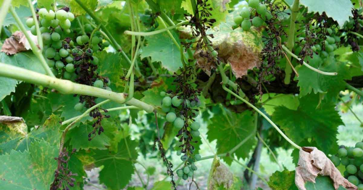 folpet fungicida adama peronospora vite