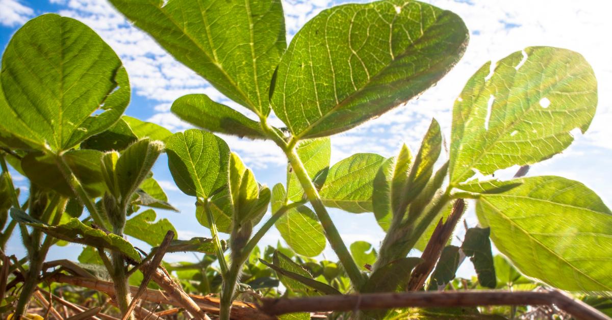 Come contenere le malerbe nella soia: Interventi pre-emergenza