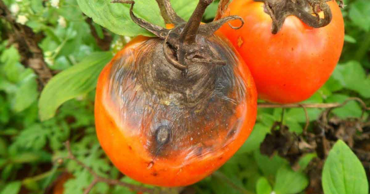 alternaria che colpisce la pianta di pomodoro